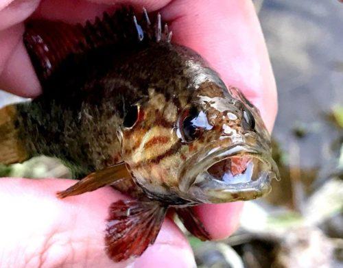 オヤニラミ釣りと春の兆し