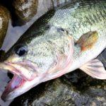 本湖のビワコオオナマズ釣り 2018 ⑤