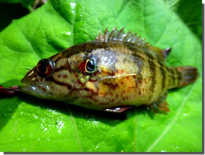 春のオヤニラミ釣り