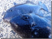 冬の海の珍客「アミモンガラ」
