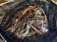 平成最後のゲンゴロウ採集 in 岡山
