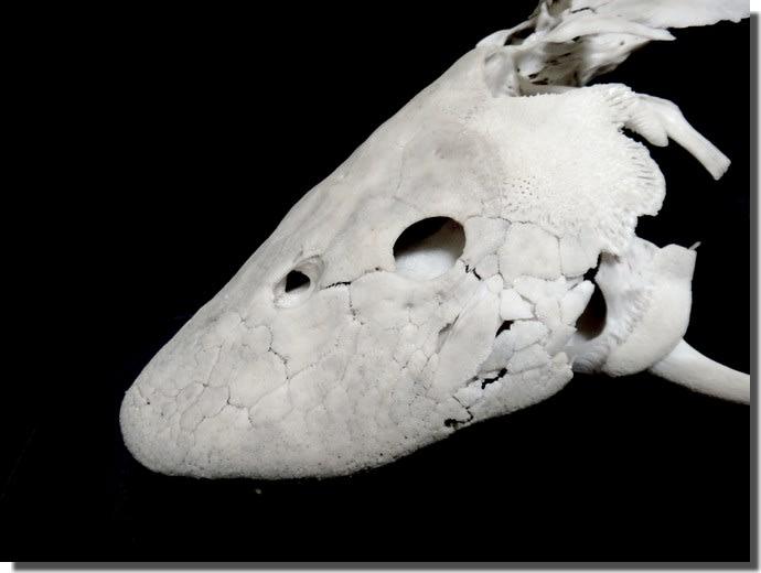 プレコの骨格標本を作ってみた