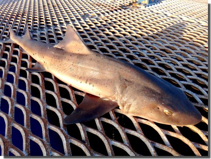 身近なサメの釣り方やら仕掛けやら