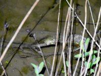シュレーゲルアオガエルの鳴き声