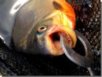 だれでも簡単に怪魚釣り!コロソマ釣り in 浜名湖フィッシングリゾート
