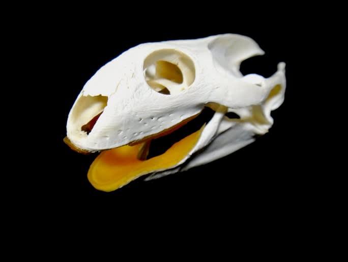 スッポンを骨格標本にしてみた