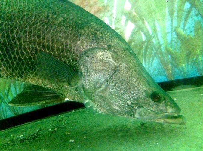 【高知の怪魚】アカメ釣り