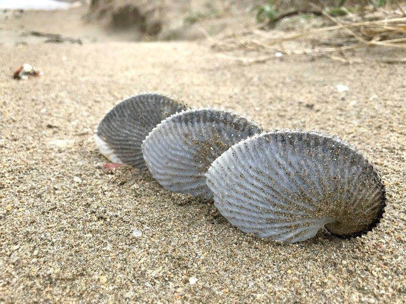 冬のビーチコーミング!漂着したアオイガイの殻を探して鳥取の砂浜を駆けまわる