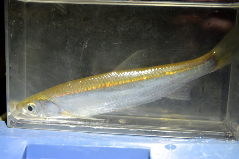 【淡水魚の聖地でガサガサ】岡山にて淡水魚採集