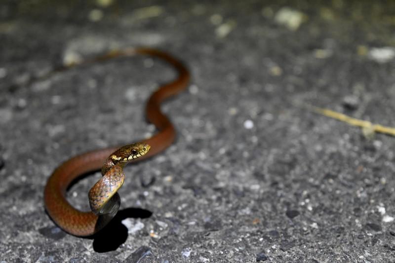 【かまれたら命がその日ばかり?】物騒な名前のヘビ「ヒバカリ」を観察する