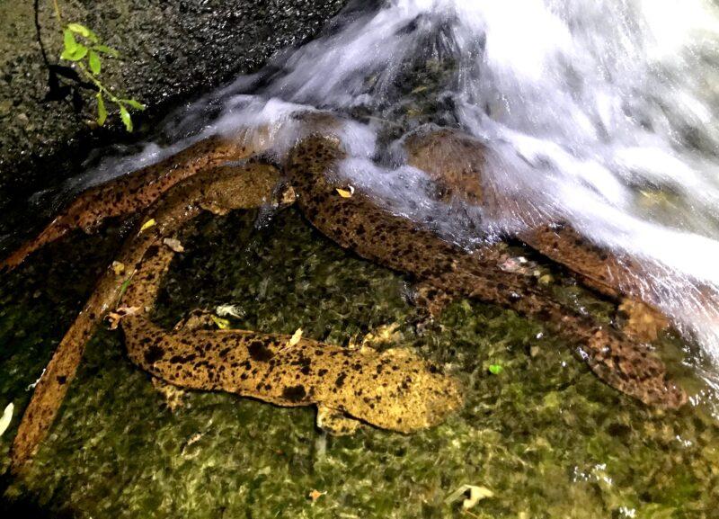 【トリビア】環境調査の人が1晩本気で探して見つかるオオサンショウウオの数は【108匹】